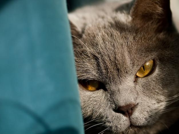 Colpo del primo piano della testa di un gatto britannico grigio