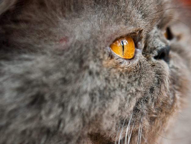 Colpo del primo piano della testa di un gatto grigio