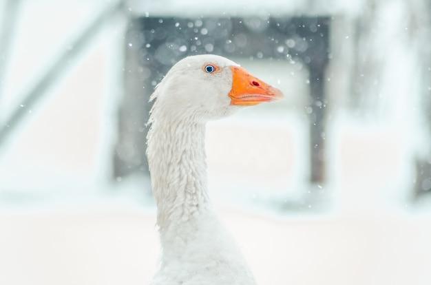 Colpo del primo piano della testa di un'oca carina con il fiocco di neve sfocato