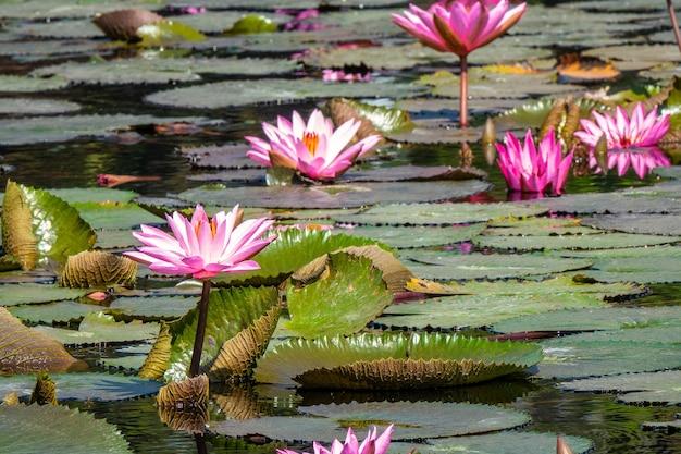 Colpo del primo piano di bellissime ninfee rosa che crescono nella palude