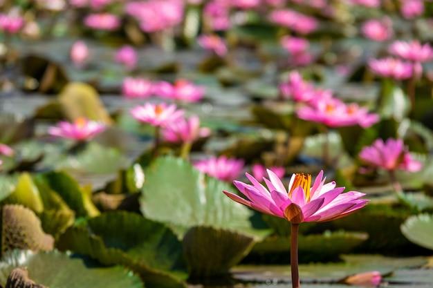 Colpo del primo piano di bellissime ninfee rosa con uno sfondo sfocato