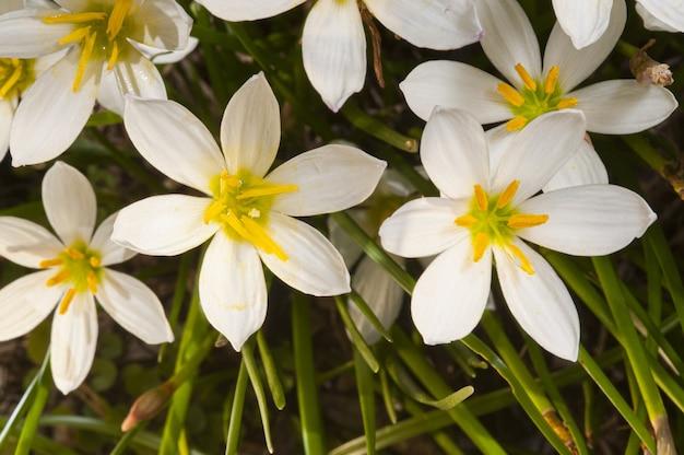 Colpo del primo piano di bellissimi gigli di pioggia fioriti - perfetto per un articolo sulla botanica