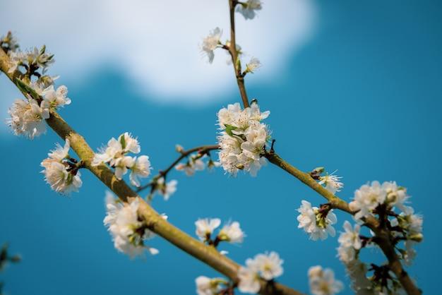 Colpo del primo piano di bello fiore bianco su un ramo di un albero con uno sfondo naturale blu vago