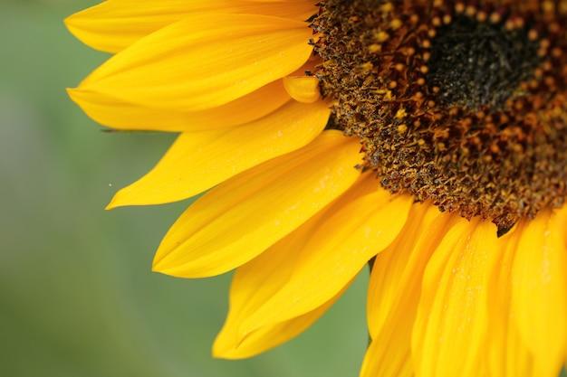 Colpo del primo piano di bello girasole giallo su una priorità bassa vaga