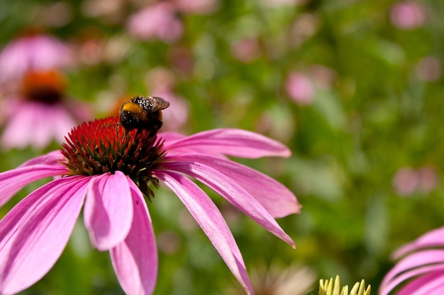 Colpo del primo piano di coneflower viola con un'ape al centro