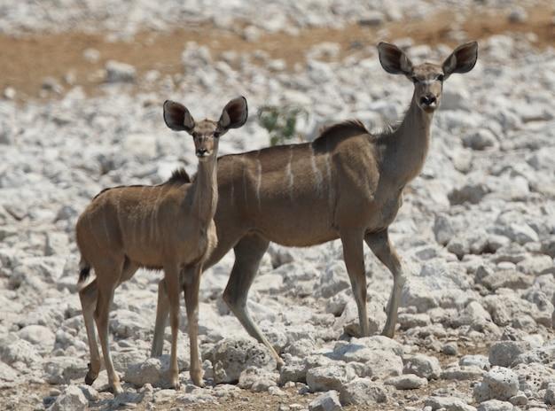 Colpo del primo piano di due giovani kudus in piedi sul terreno roccioso bianco