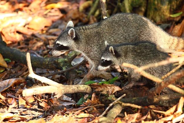 Colpo del primo piano di due procioni alla ricerca di cibo sul suolo della foresta