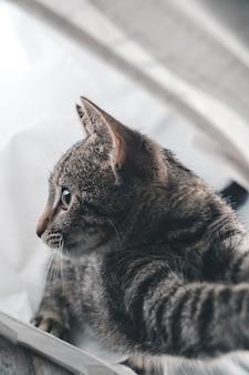 Colpo del primo piano di un adorabile simpatico gatto grigio al chiuso