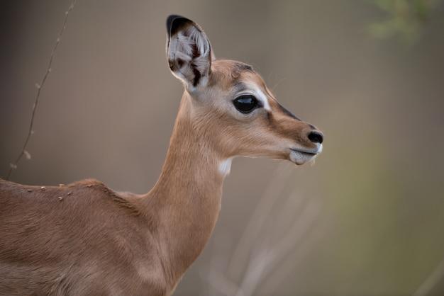 Colpo del primo piano di un'antilope del bambino