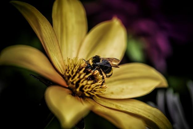 Colpo del primo piano di un'ape mellifica che raccoglie nettare su un fiore giallo-petalo - concetto di fioritura della natura