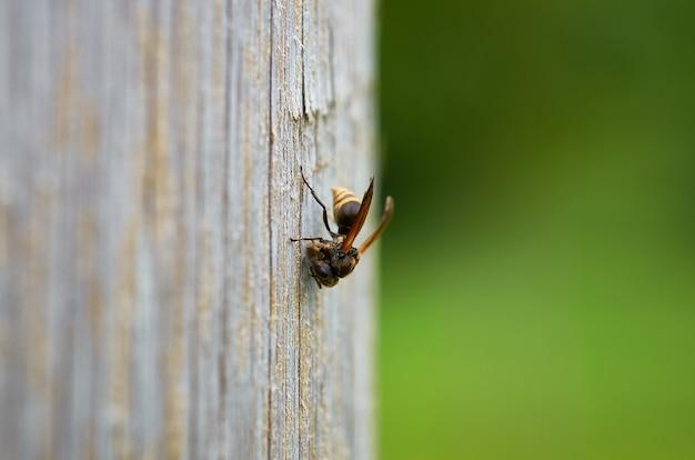 Colpo del primo piano di un'ape su una superficie di legno con uno sfondo sfocato