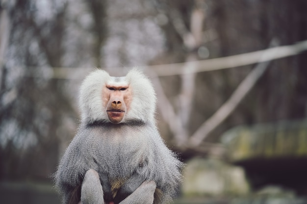 Colpo del primo piano di un babbuino hamadryas con un bellissimo mantello bianco e argento