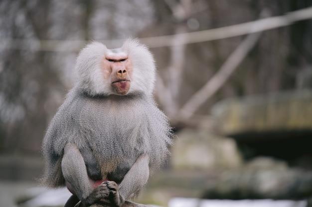 Colpo del primo piano di un babbuino hamadryas maschio con un bellissimo mantello d'argento e occhi feroci