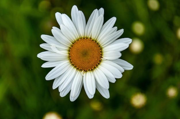 Colpo del primo piano di un bel fiore margherita comune