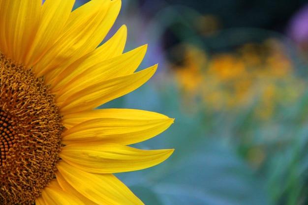 Colpo del primo piano di un bel girasole giallo su uno sfondo sfocato