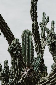 Colpo del primo piano di un bellissimo albero di cactus di grandi dimensioni con lunghi rami appuntiti e frutti in fiore su di essi