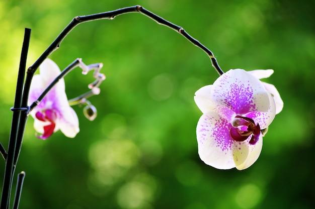 Colpo del primo piano di un bellissimo fiore di orchidea con uno sfondo sfocato