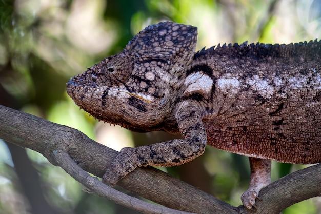 Colpo del primo piano di un camaleonte comune con uno sfocato