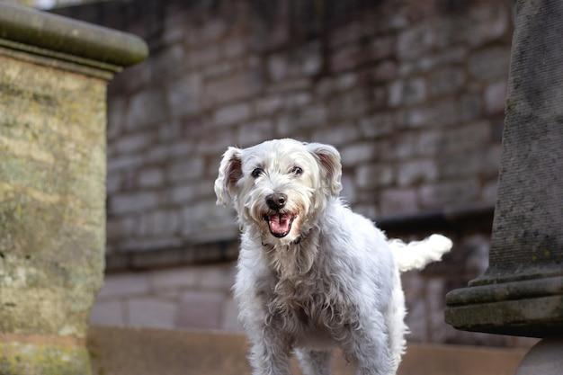 Colpo del primo piano di un cane bianco in piedi davanti a un muro