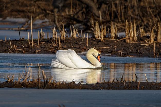 Colpo del primo piano di un cigno reale che galleggia su un lago in un campo in una giornata di sole