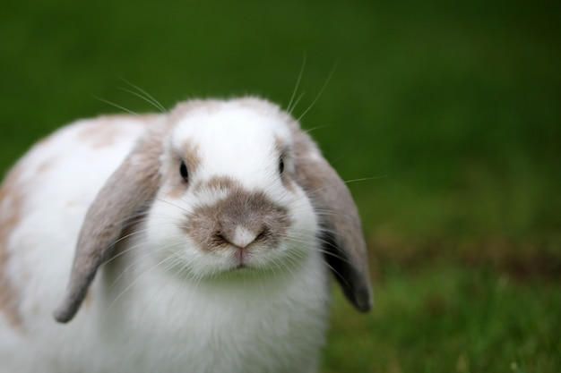 Colpo del primo piano di un coniglio carino sull'erba verde con uno sfondo sfocato