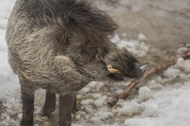 Colpo del primo piano di un facocero che sta sulla terra nevosa con uno sfocato
