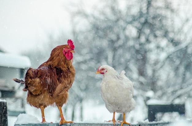 Colpo del primo piano di un gallo e una gallina su una superficie di legno con il fiocco di neve
