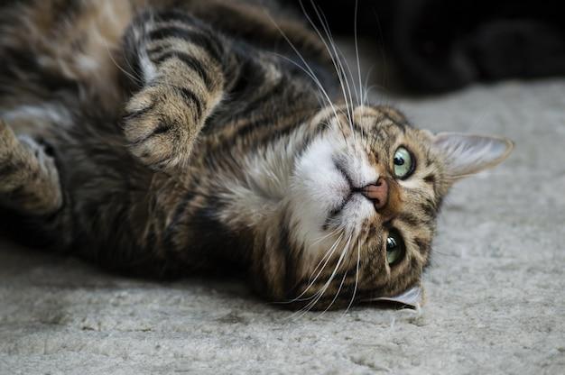 Colpo del primo piano di un gatto sdraiato a terra