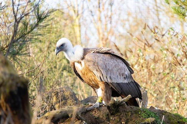 Colpo del primo piano di un giovane avvoltoio appollaiato su un vecchio ceppo con un'etichetta gialla sul piede