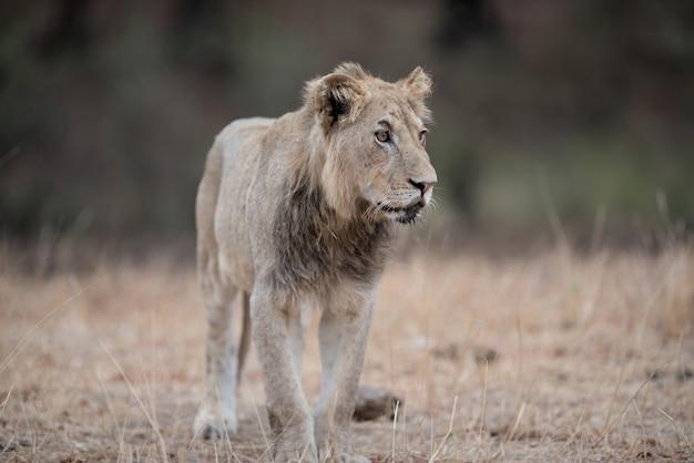 Colpo del primo piano di un giovane leone maschio che cammina sul campo del cespuglio
