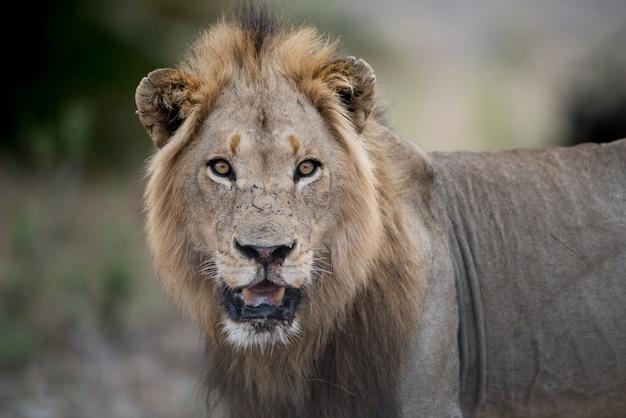 Colpo del primo piano di un leone maschio con uno sfondo sfocato