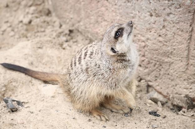 Colpo del primo piano di un meerkat che osserva in su