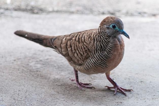 Colpo del primo piano di un piccione marrone che cammina sul terreno concreto