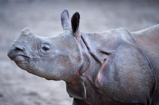 Colpo del primo piano di un rinoceronte indiano con uno sfondo sfocato