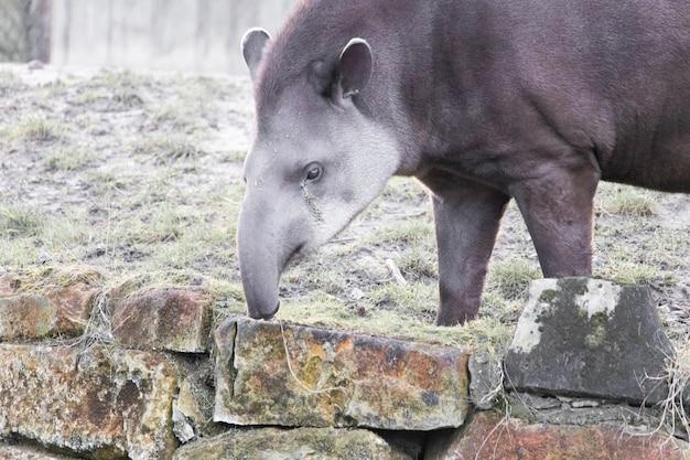 Colpo del primo piano di un tapiro che raccoglie fieno su un muro di pietra