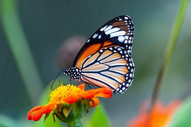 Colpo del primo piano di una bella farfalla con trame interessanti su un fiore dai petali arancioni