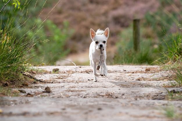 Colpo del primo piano di una chihuahua bianca sveglia che funziona sulla strada