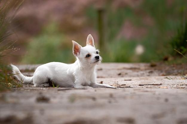 Colpo del primo piano di una chihuahua bianca sveglia che si siede sulla terra