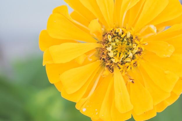 Colpo del primo piano di una crescita di fiore gialla nel giardino con un fondo vago