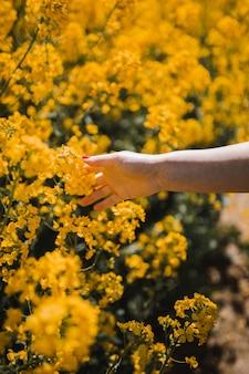 Colpo del primo piano di una femmina che tocca i bei fiori dal fiore giallo durante il giorno