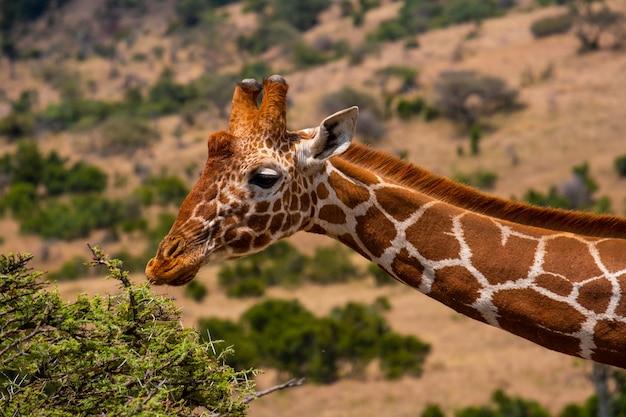 Colpo del primo piano di una giraffa che pasce in una giungla catturata nel kenya, nairobi, samburu