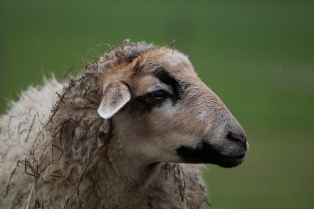 Colpo del primo piano di una pecora con uno sfondo sfocato