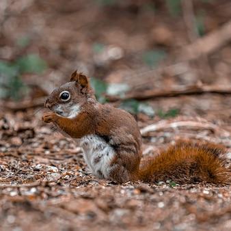 Colpo del primo piano di uno scoiattolo bambino in piedi sul suolo