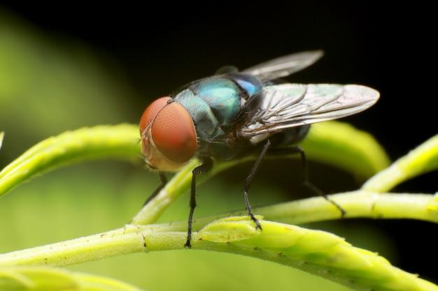 Colpo della mosca, mosca della carogna, mosconi azzurro o mosca del mazzo, sulla priorità bassa verde della filiale di alberi.