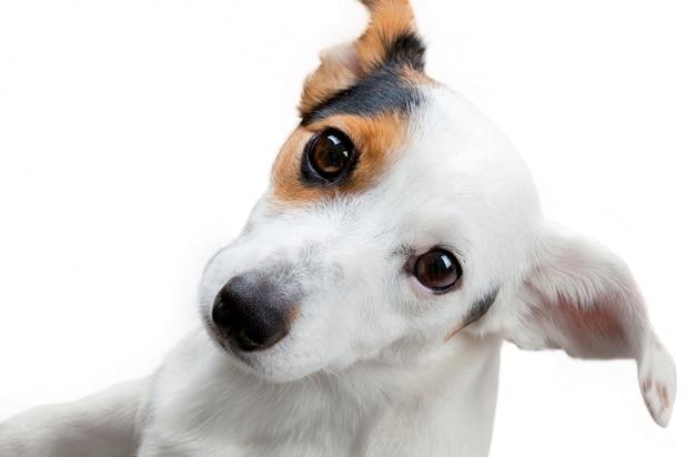 Colpo dello studio del terrier di jack russel