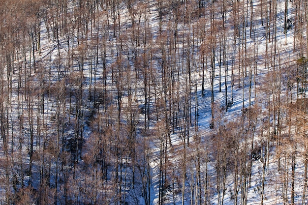Colpo di alto angolo degli alberi spogli alti della medvednica a zagabria, croazia in inverno