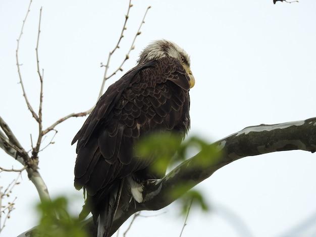 Colpo di angolo basso di un falco arrabbiato che sta su un ramo di albero con un bianco