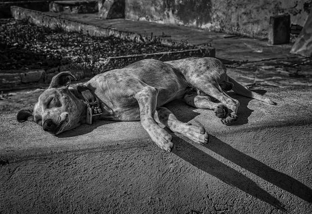 Colpo di gradazione di grigio di un cane sveglio senza tetto stanco che dorme sulla strada nel pomeriggio