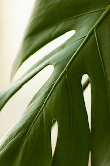 Colpo di macro di monstera delle foglie verdi