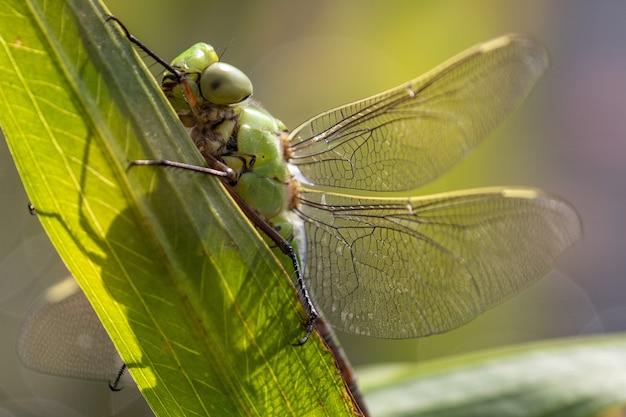 Colpo di macrofotografia di una grande dargonfly verde che sta su una foglia durante il giorno soleggiato luminoso